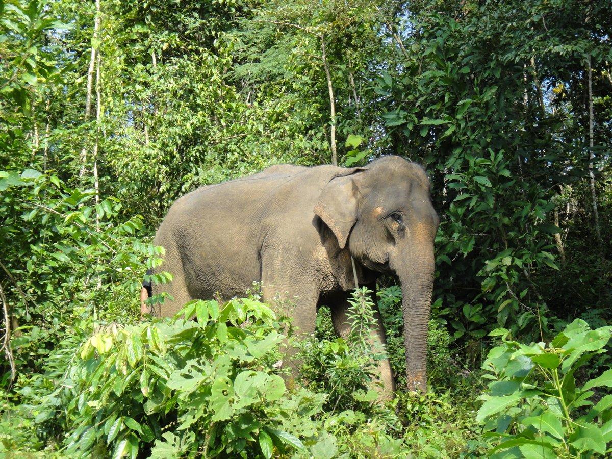 lphant d'Asie Elephas maximus - Manimalworld
