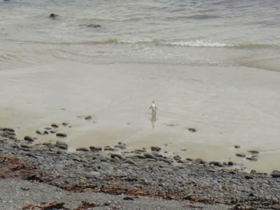 Manchot à tête jaune sortant de l'eau