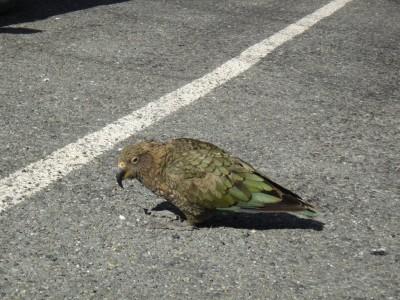 Le Kéa, espèce endémique de Nouvelle-Zélande