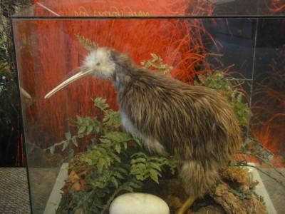 Kiwi empaillé avec son gros oeuf